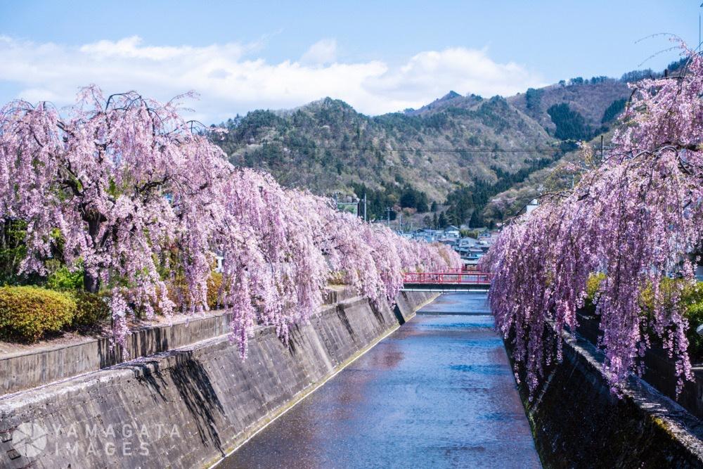 倉津川しだれ桜