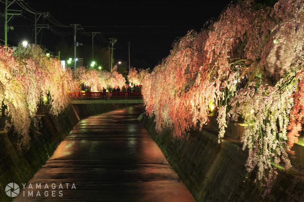 しだれ桜の夕べ