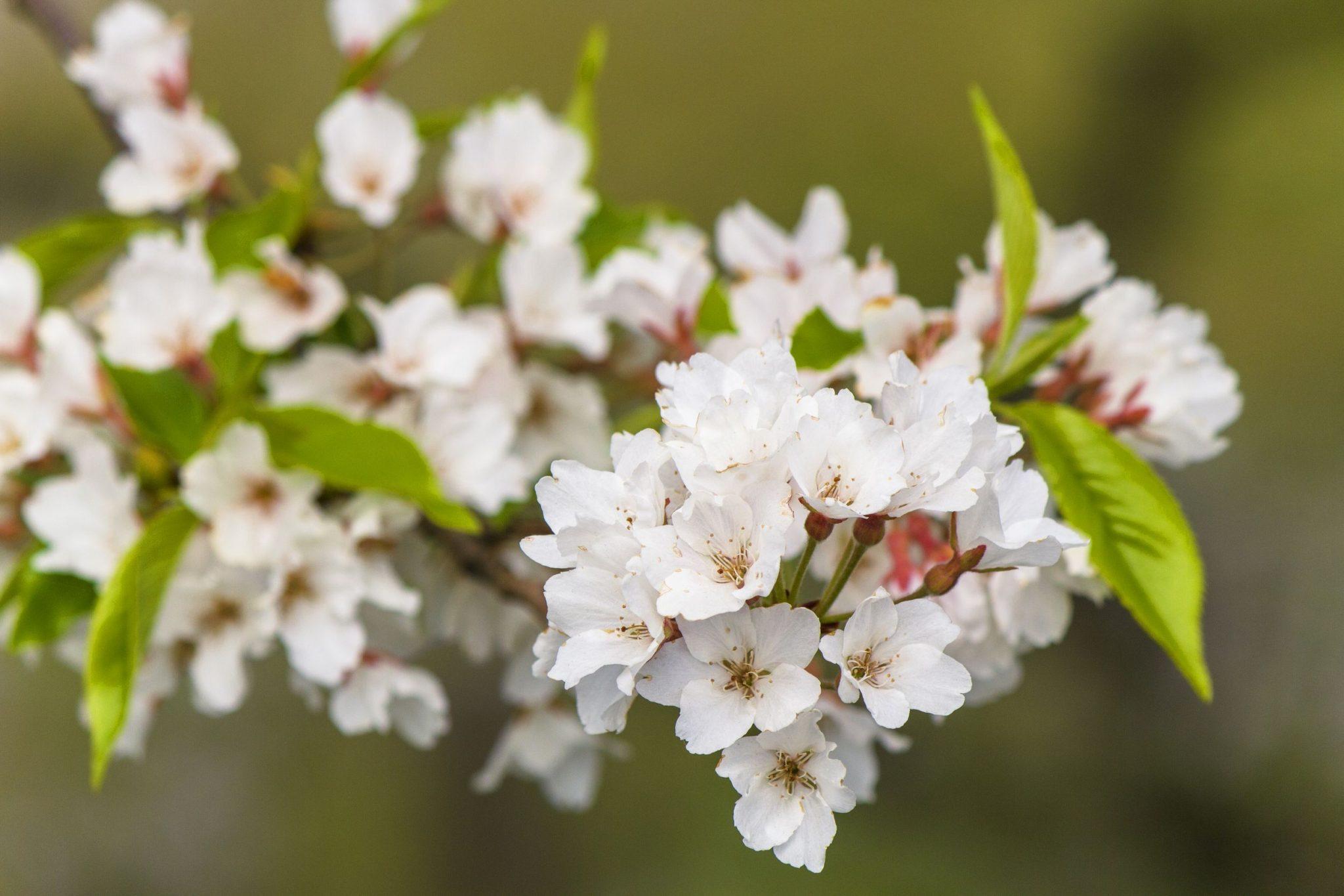 もがみ桜まつり