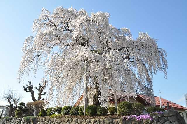 権現道のしだれ桜