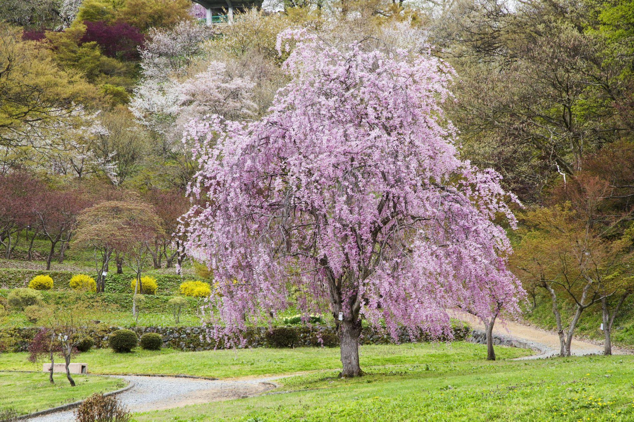 やまがた 桜の名所案内   VISIT YAMAGATA -山形市・上山市・天童市 ...