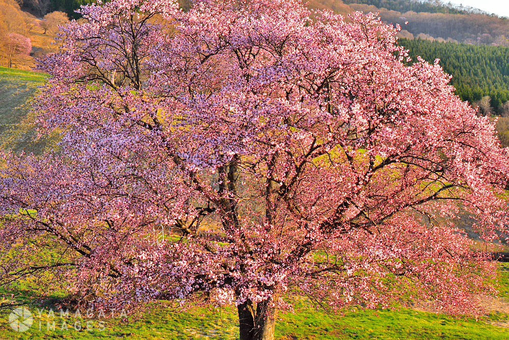 西蔵王の大山桜