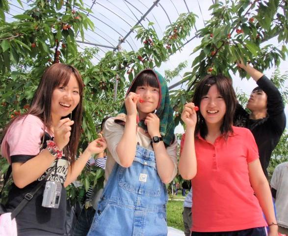 山形特産の旬のさくらんぼを食べられるのは今だけ!山寺でさくらんぼ狩り食べ放題☆ 名物「力こんにゃく」付!