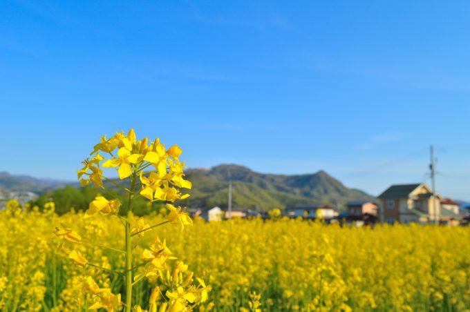 【特集記事】【上山市の菜の花畑】立地も規模も抜群のフォトスポットが誕生!