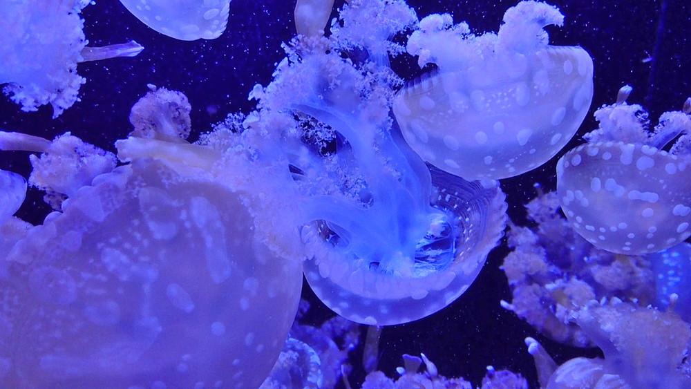 【特集記事】加茂水族館「クラゲドリーム館」で幻想的なひとときを