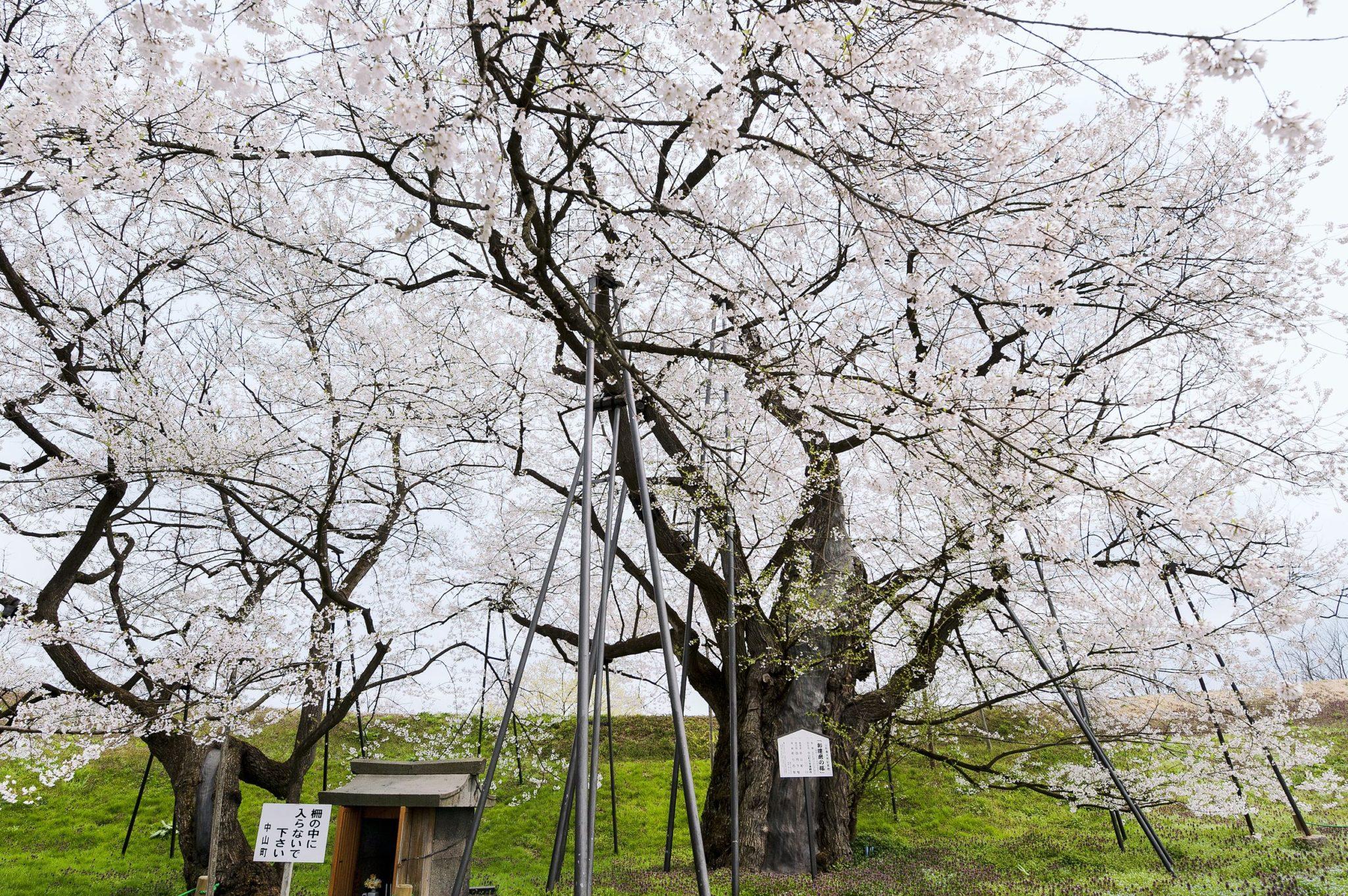お達磨の桜 (中山町)