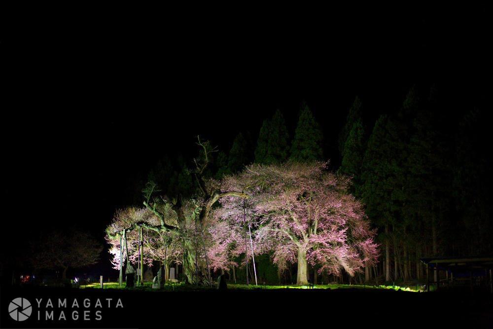 釜の越農村公園の桜群(白鷹町)