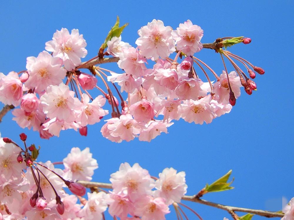【まとめ】山形県 桜の名所を写真で巡る!