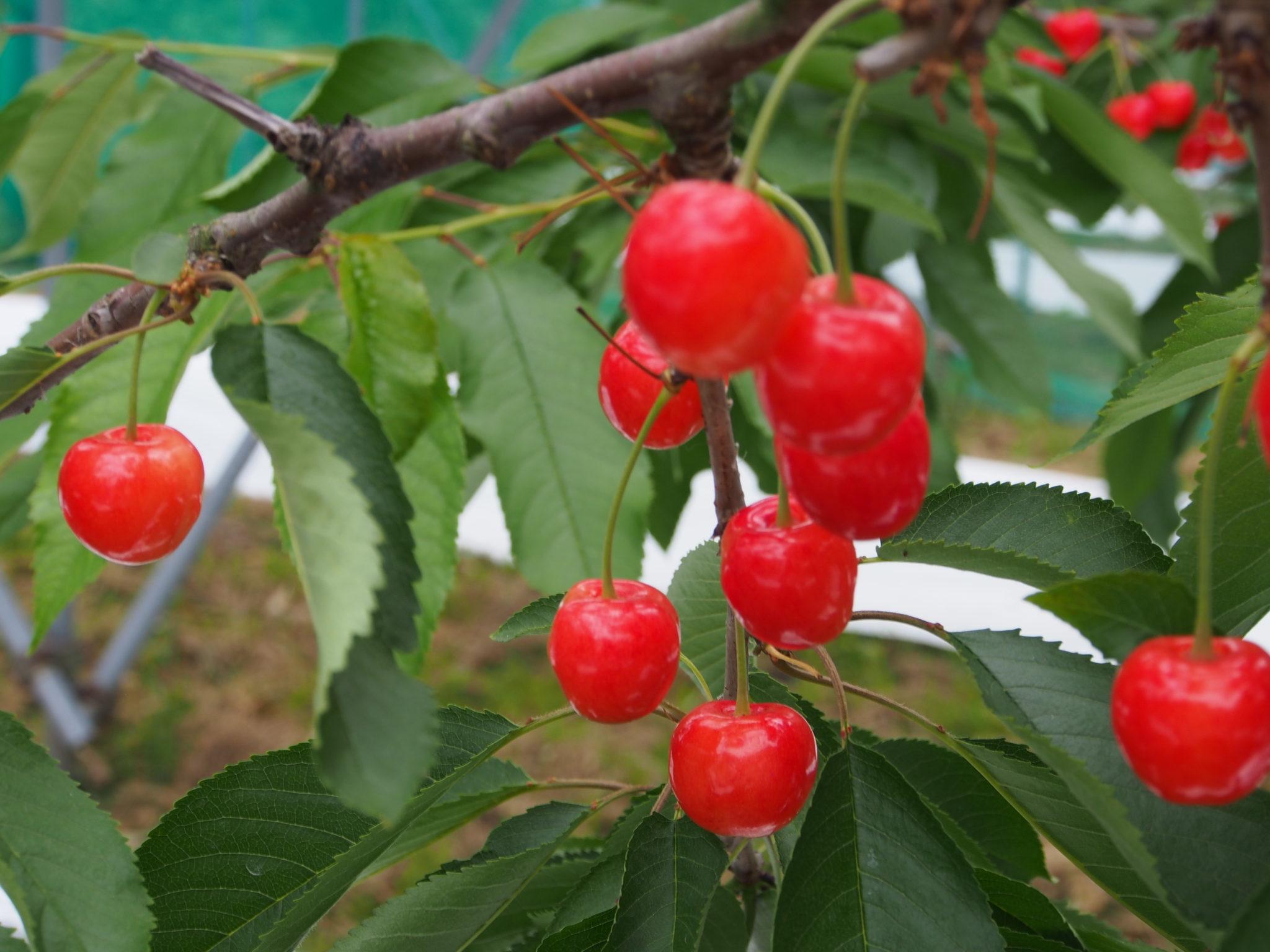 今野観光果樹園