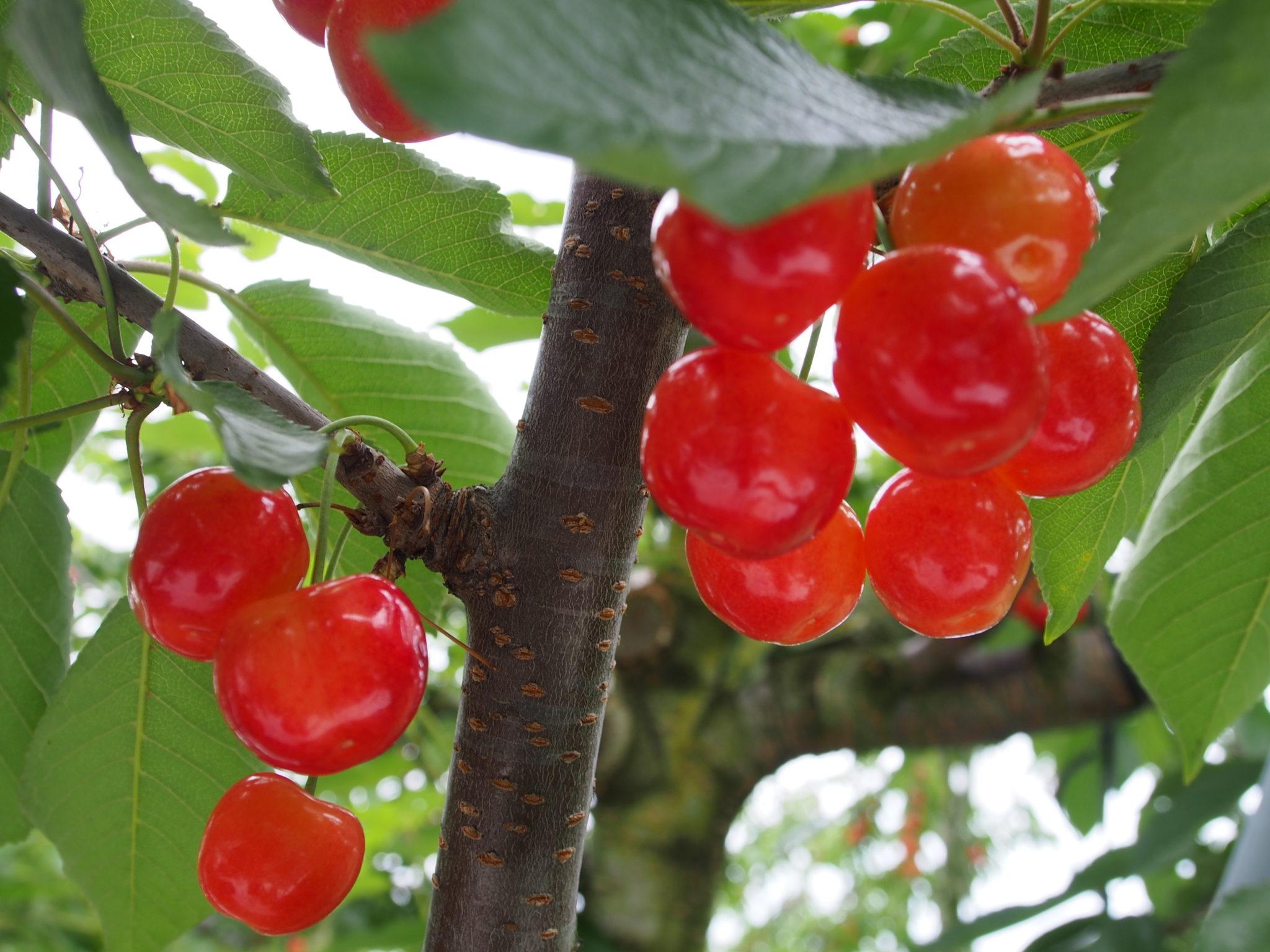 まるたん果樹園
