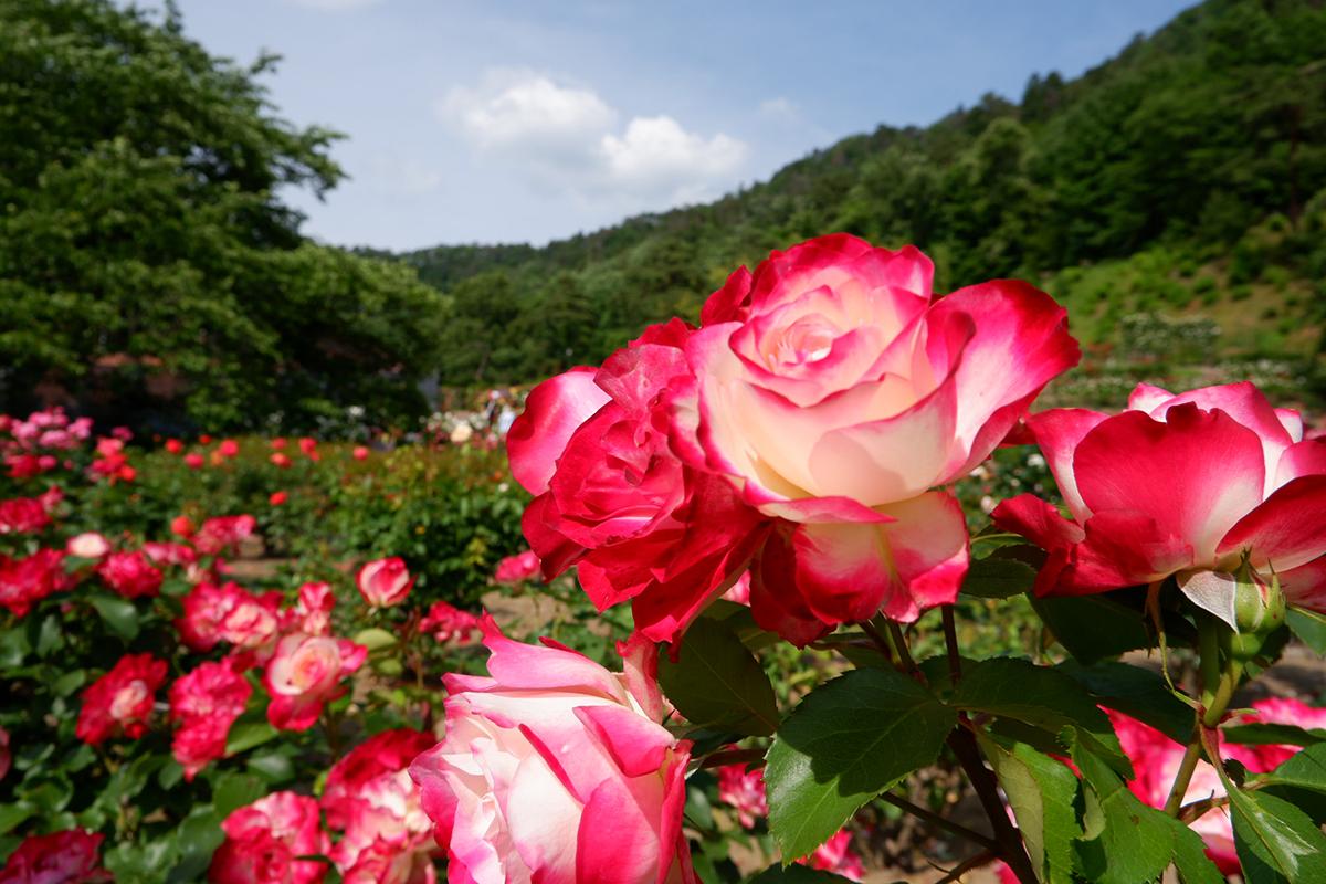 東沢バラ公園(村山市)