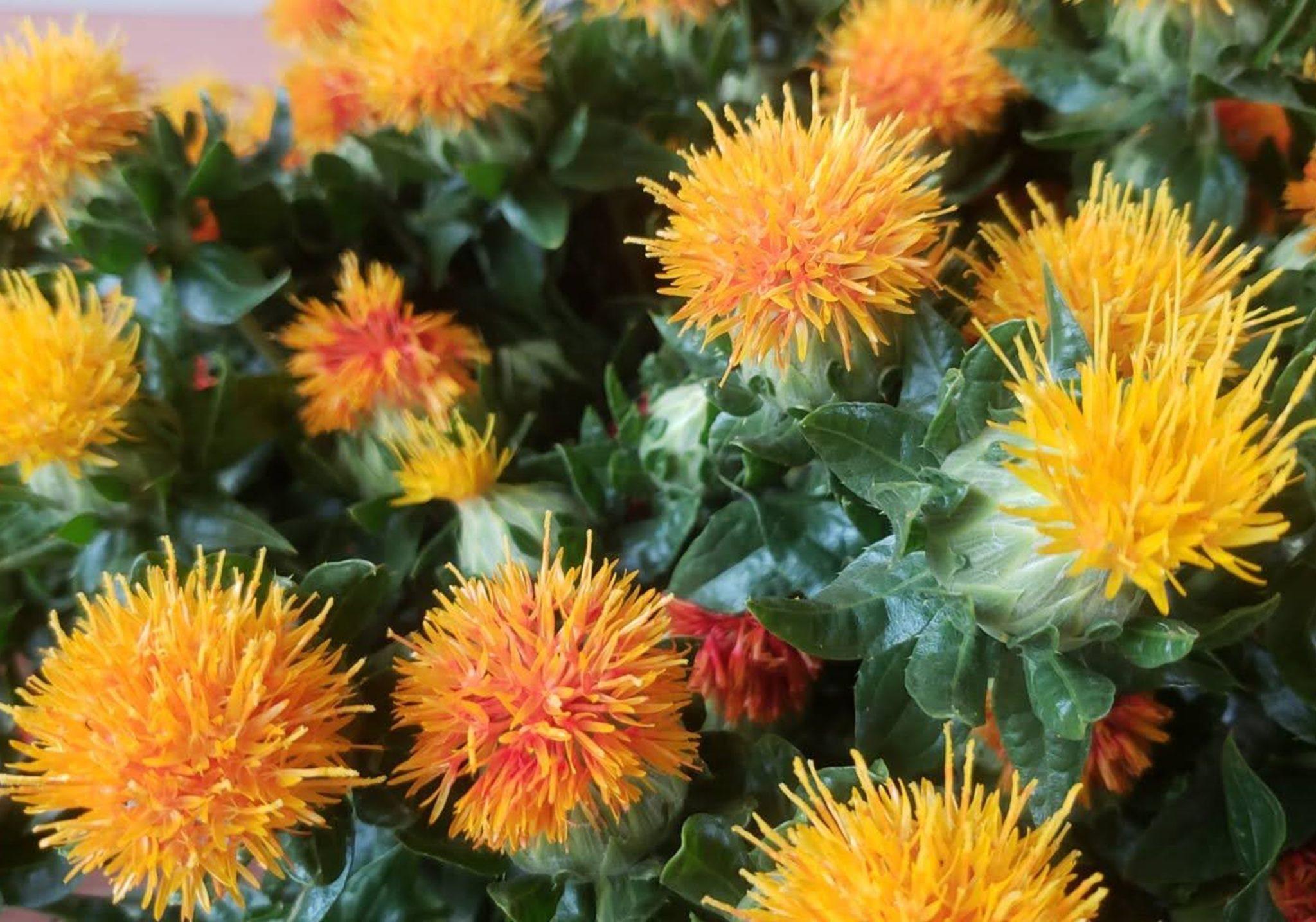【特集記事】山形の紅花を見て・染めて・食べてみよう!!
