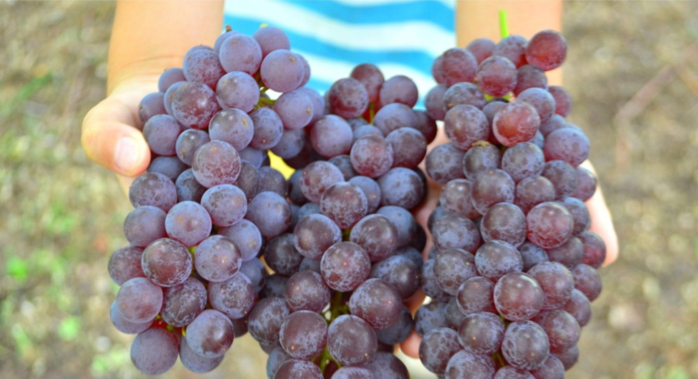 [Feature] Grape picking in Yamagata! Konno Vineyard in Yamagata City has unlimited time picking for exquisite grapes! !! (Hoshimama)