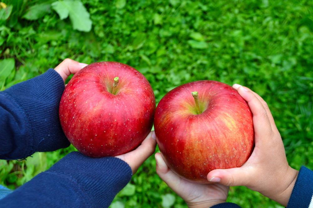 【体験記事】山形で幸せを作るりんご狩り!朝日町の「幸作りんご園」で非日常を満喫!