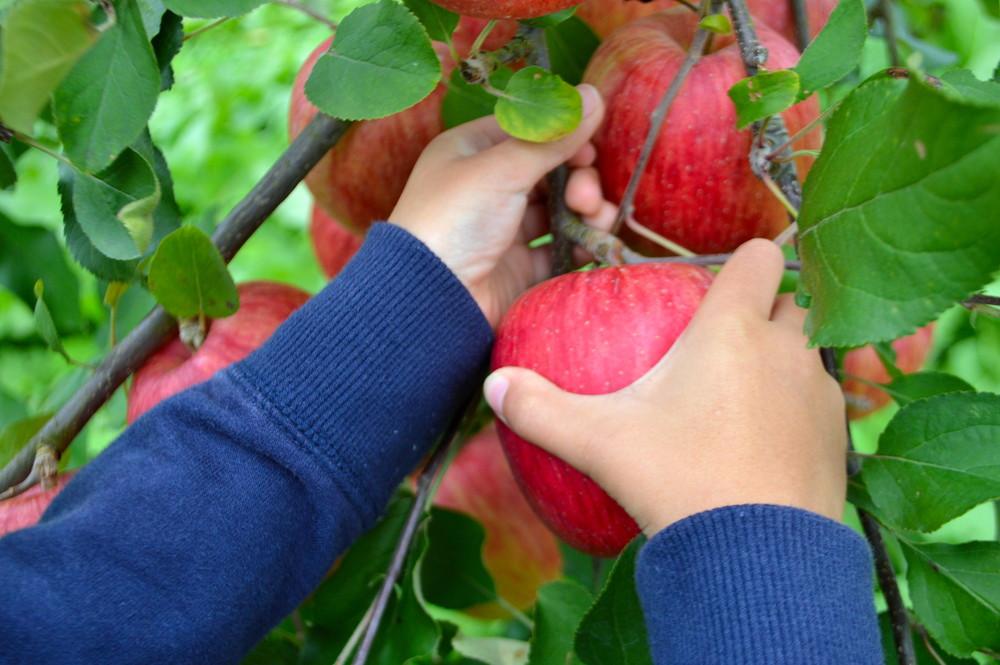 りんごの高級ブランド「和合平の無袋ふじ」「シナノスイート」もぎ取り体験🍎