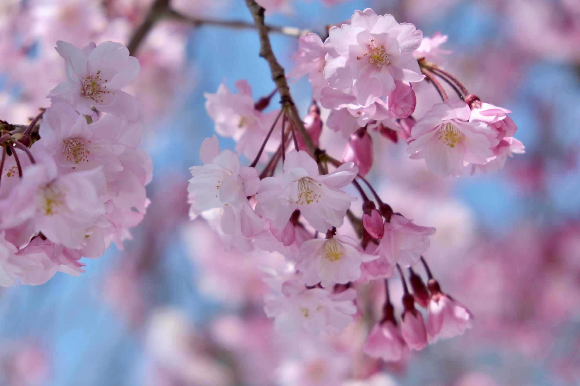 【まとめ】2021年 山形県の週末イベント情報 4月17日(土)・4月18日(日)