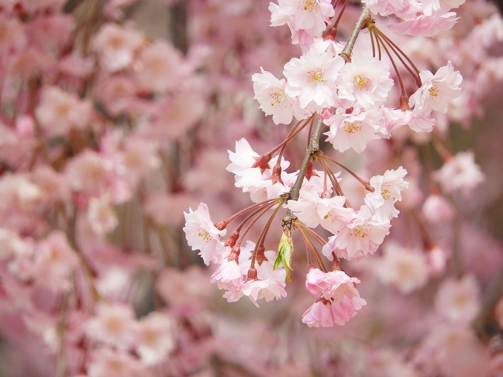 【まとめ】観光タクシーで行く♪「桜めぐり」の旅 4選! ★2021年春号★