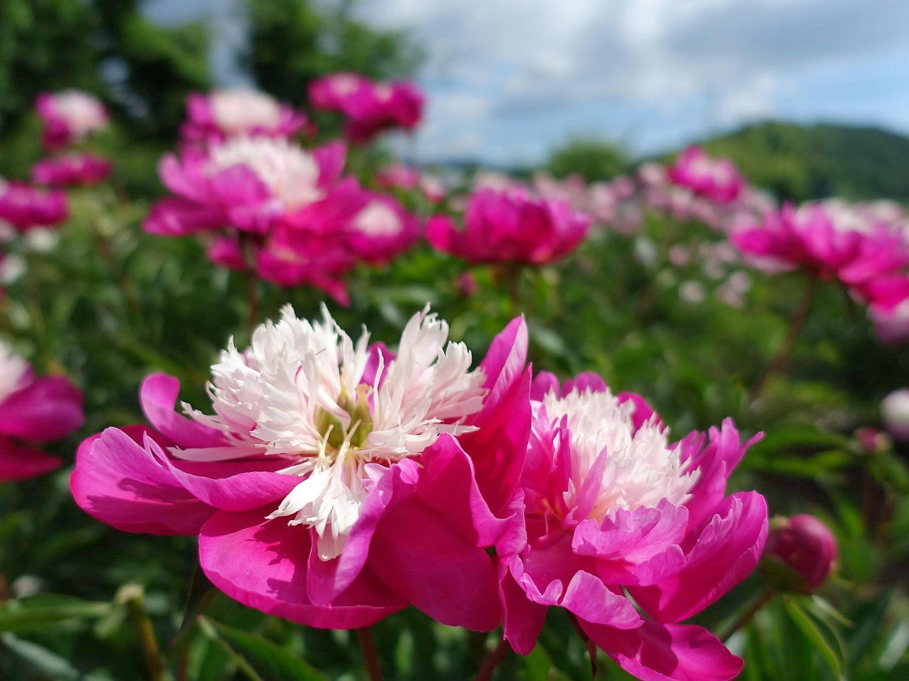 【まとめ】山形の花まつり 第一弾 5月~6月 | 休日は美しい花が咲く公園へ!