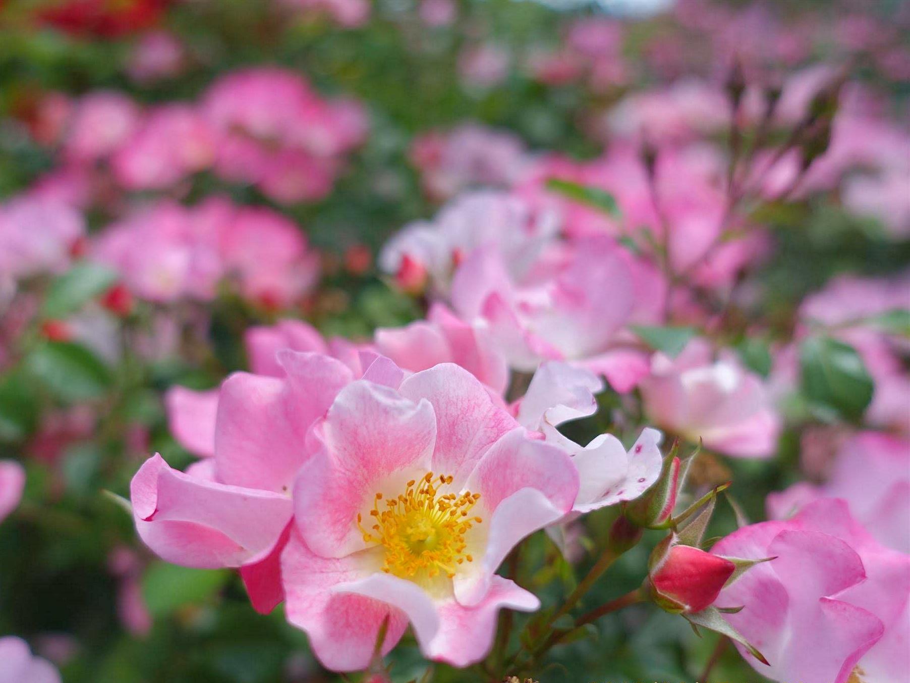 【まとめ】山形の花まつり 第二弾 6月~7月|休日は美しい花が咲く公園へ!